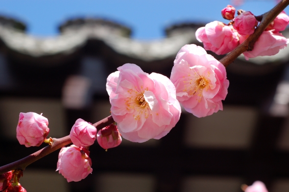 Plum Blossom in the Scholar's Courtyard | Lan Su Chinese Garden | Portland, OR