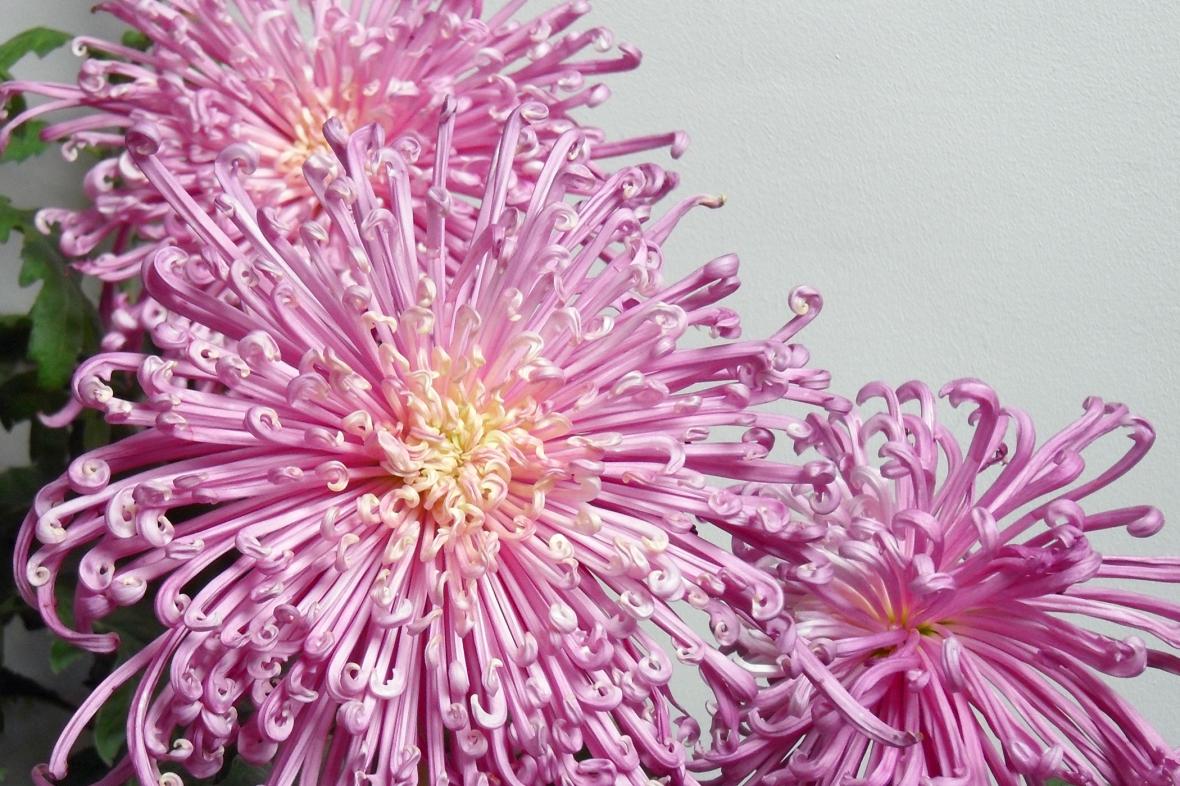 Brightening The Eyes The Medicinal Uses Of The Chrysanthemum Lan