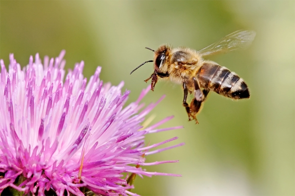 Scientists show cities can serve as a refuge for insect pollinators