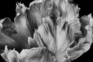 Loren Nelson - Pink Parrot Tulip (detail)