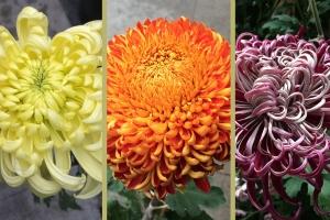 Chrysanthemum Sale - Lan Su Chinese Garden
