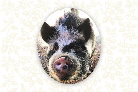 Shadow | The Northwest Miniature Pig Association (NWMPA)